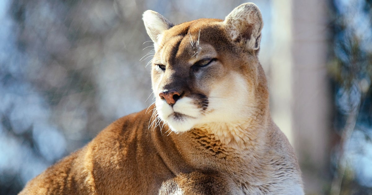 More Cougars Could Mean Fewer Deer-Related Auto Fatalities