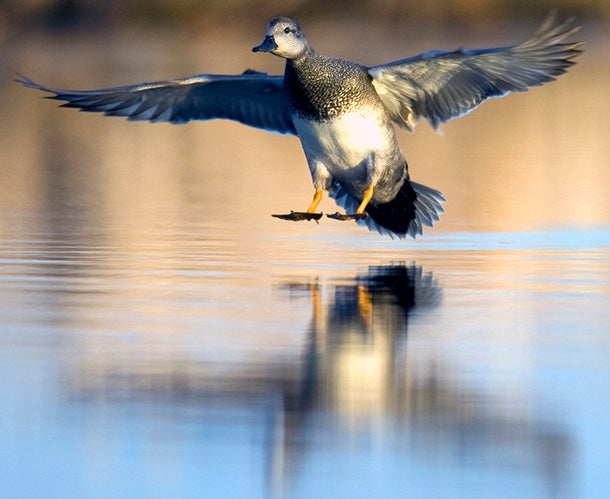 Gadwall Hunting: Specialized Tactics For Bagging More Gray Ducks