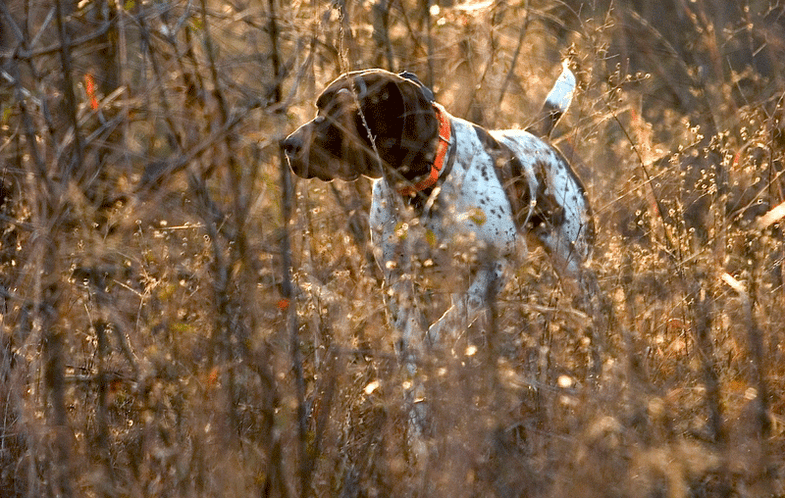 Ask Phil: Pointer or Flusher for Grouse?