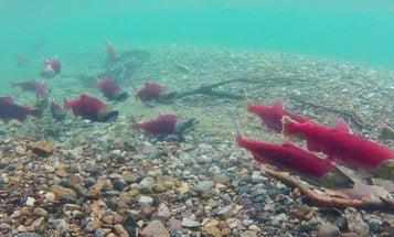 BC Salmon Test Positive for Dangerous Virus