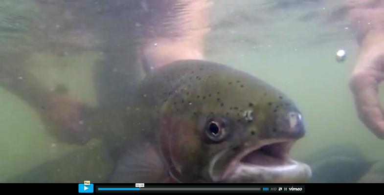 Video: Wild Steelhead from Trout Unlimited