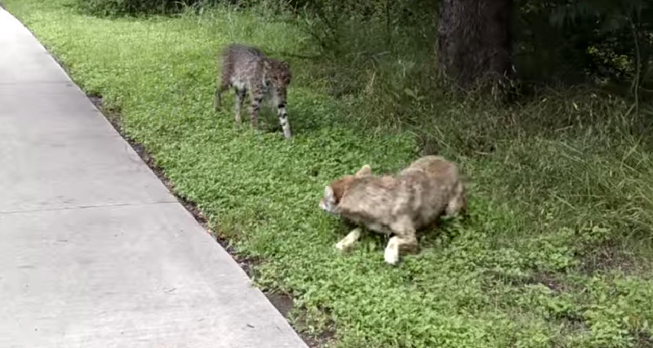 How Close is Too Close: Bobcat vs. Coyote