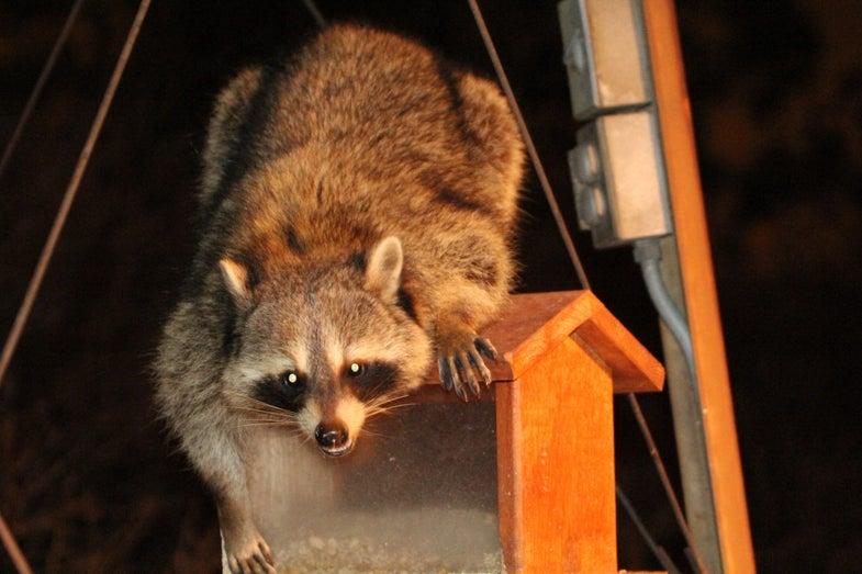 raccoon; bird feeder; dangerous animals