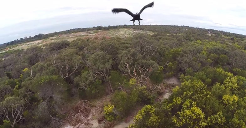 Video: Eagle Attacks Drone Mid-Flight