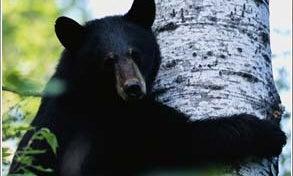 A Bear of a Problem