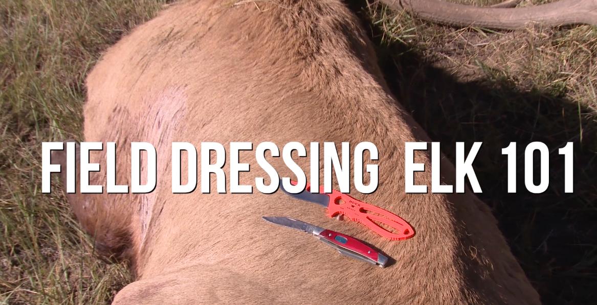 field-dressing elk