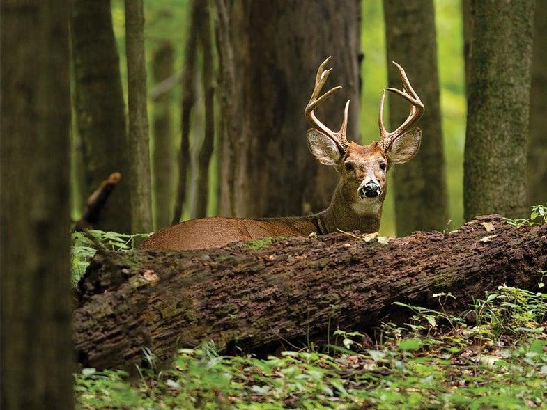 ohio whitetail buck shaded woods