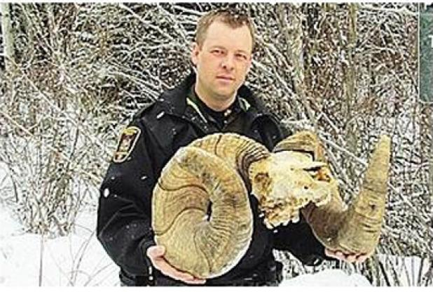 Bighorn Curls Found in Alberta Could Break The World Record