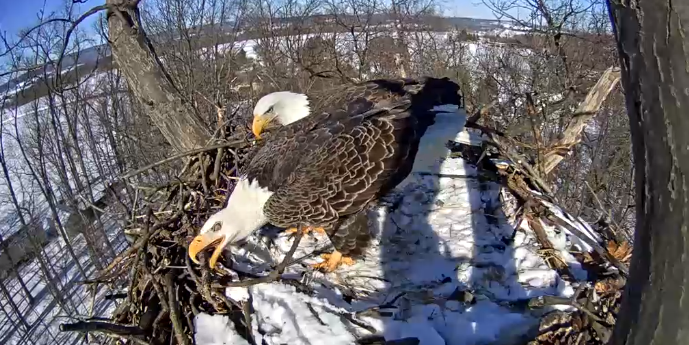 If You Love America, You'll Love the Pennsylvania Bald Eagle Nest Cam