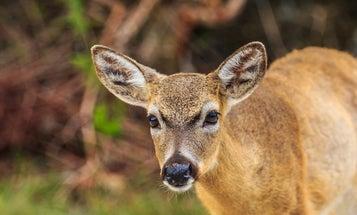 Parasite Outbreak Threatens Endangered Florida Keys' Deer