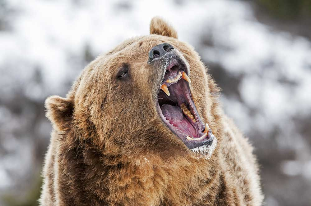 grizzly bear showing teeth