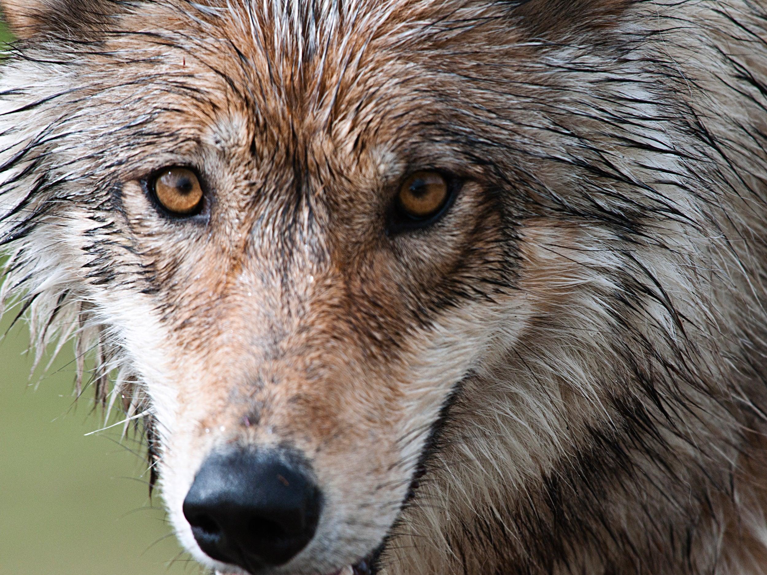An Alaskan wolf
