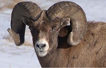 httpswww.fieldandstream.comsitesfieldandstream.comfilesimport2014importBlogPostembedbig-horn-sheep.jpg