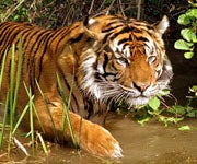 State in Western India Allows Guards to Shoot Tiger Poachers On Sight
