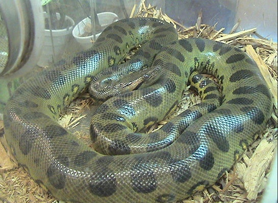 Snake Expert: 16-foot Anaconda On the Loose in New Jersey