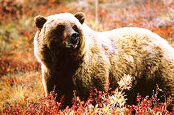 httpswww.fieldandstream.comsitesfieldandstream.comfilesimport2014importBlogPostembed250px-Grizzlybear55.jpg