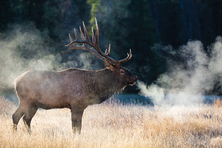 The New Bull: 7 Elk Hunting Experts On Cutting Edge Tips and Tactics