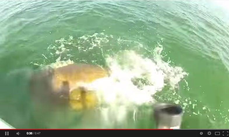 Giant Grouper Snacks On Shark (Oh, The Irony)