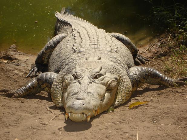 Australian Crocodile Snatches Man From Boat