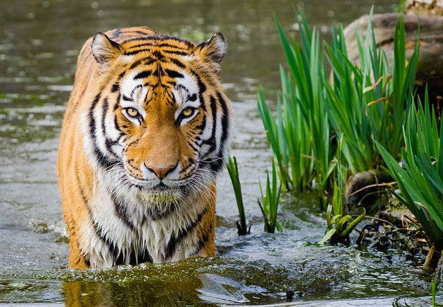 siberian tiger, germany