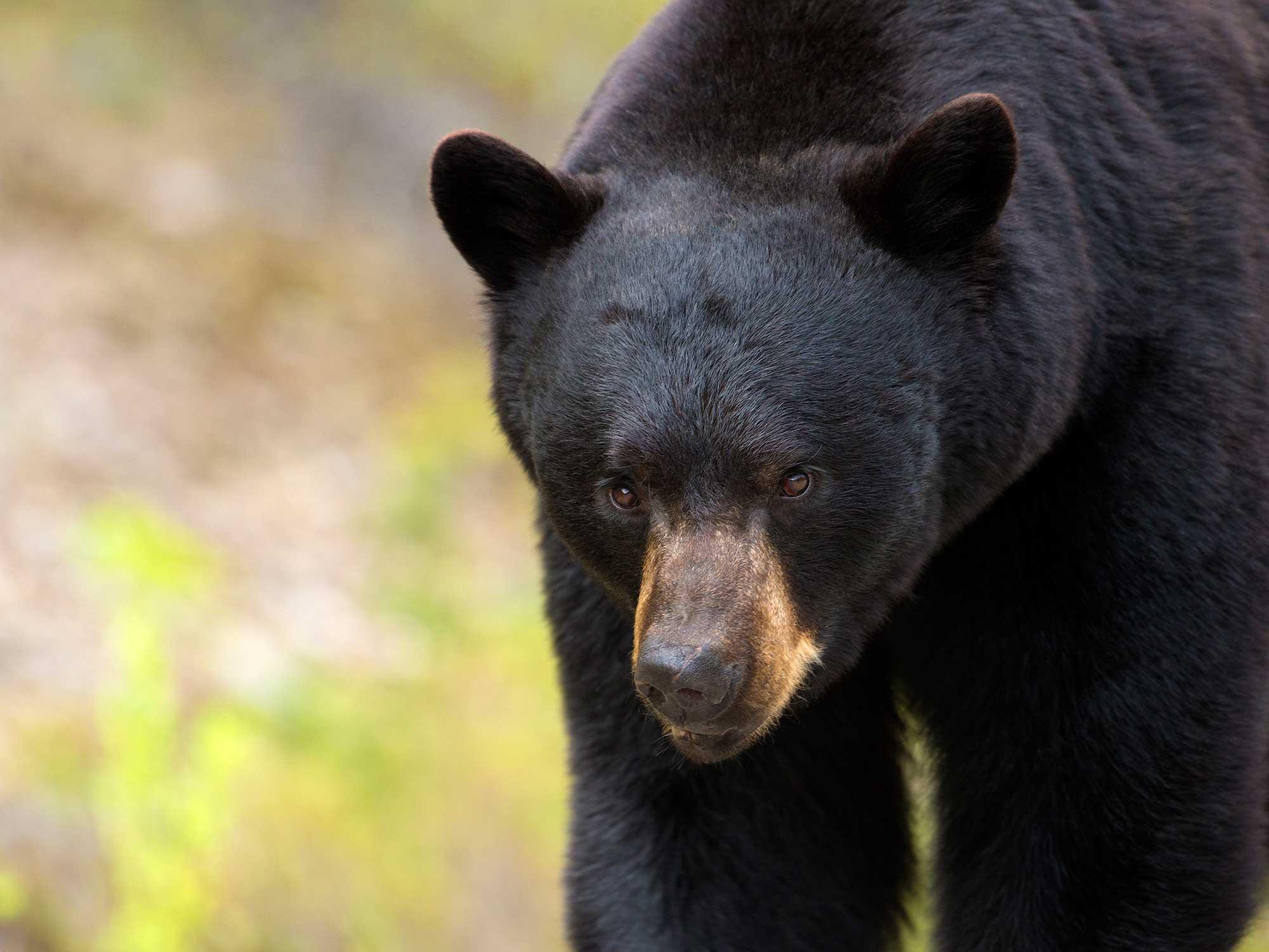 hunting bears, alaskan black bear hunting