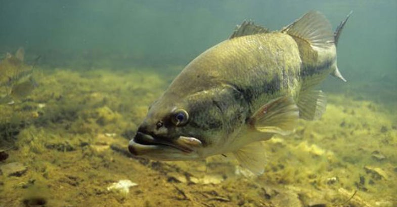 Where to Find Bass Postspawn (and How to Catch Them)
