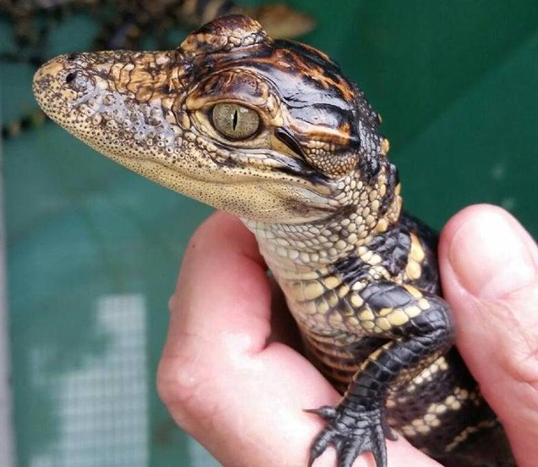 Baby Alligator, Turtles Stolen from Florida Wildlife Sanctuary