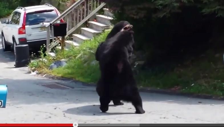 Video: Black Bear Battle in New Jersey