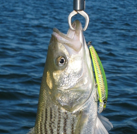 httpswww.fieldandstream.comsitesfieldandstream.comfilesimport2014importImage2010photo18Striper1.jpg