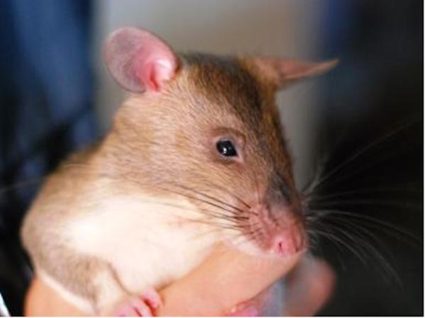 Rats Being Trained to Sniff Out Wildlife Traffickers
