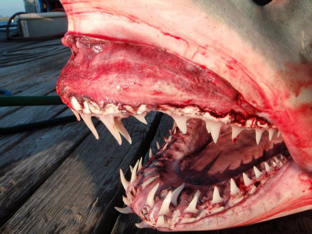 Bowfishing For Monster Mako and Blue Sharks off the California Coast