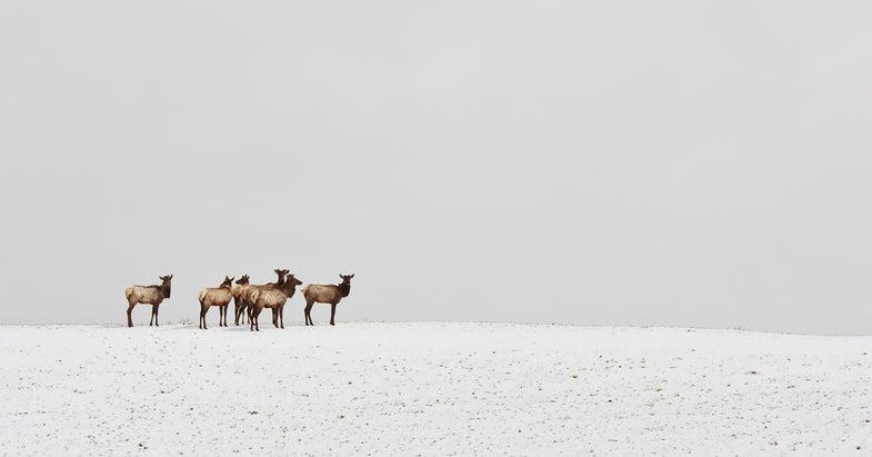 Poaching Threatens Newly Established Vancouver Island Elk Herd