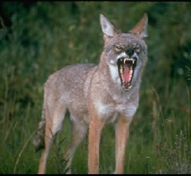 httpswww.fieldandstream.comsitesfieldandstream.comfilesimport2014importBlogPostembedFNhunting-coyotes-using-dogs-01.jpg
