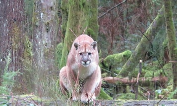 Video: Cougar Stalks Man on Vancouver Island