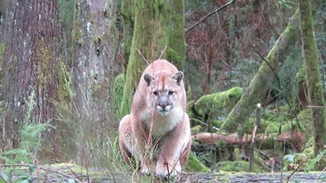 cougar stalking man on vancouver island, canada