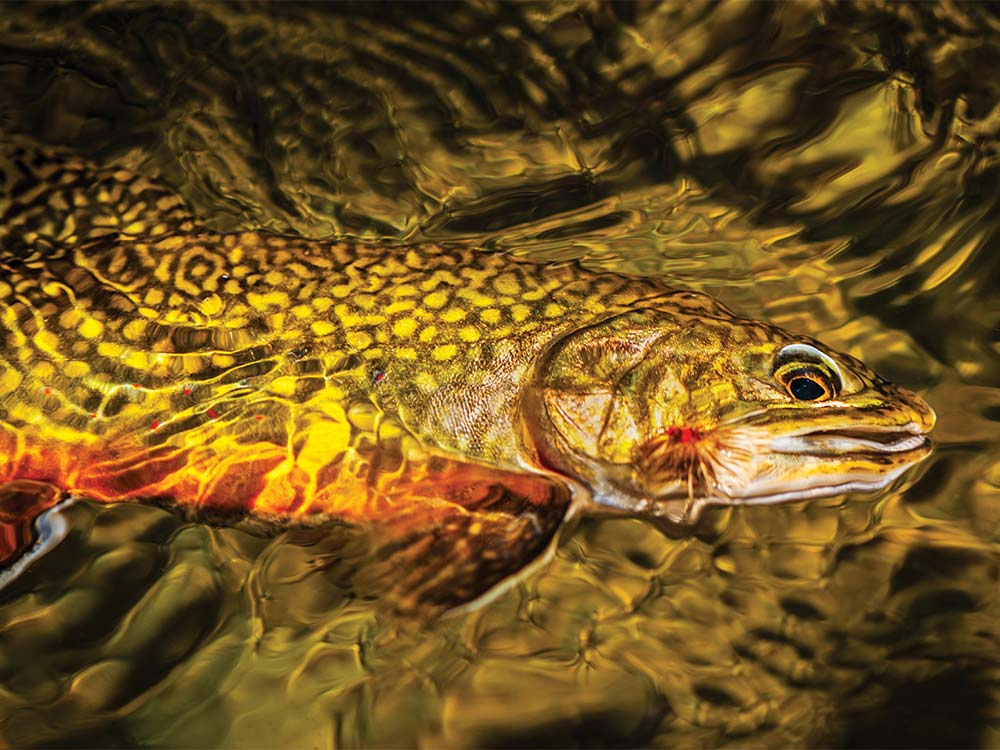 a wild brook trout in the water