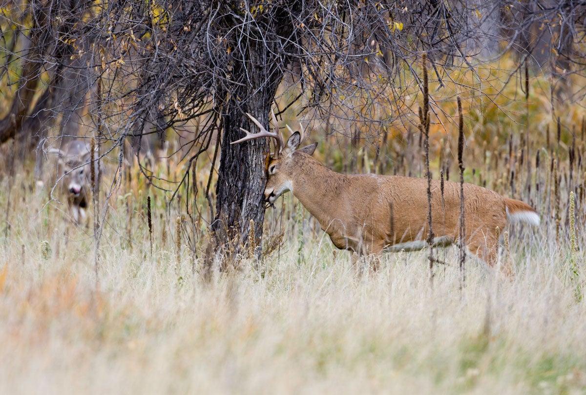 Read Rubs to Kill More Trophy Whitetail Bucks