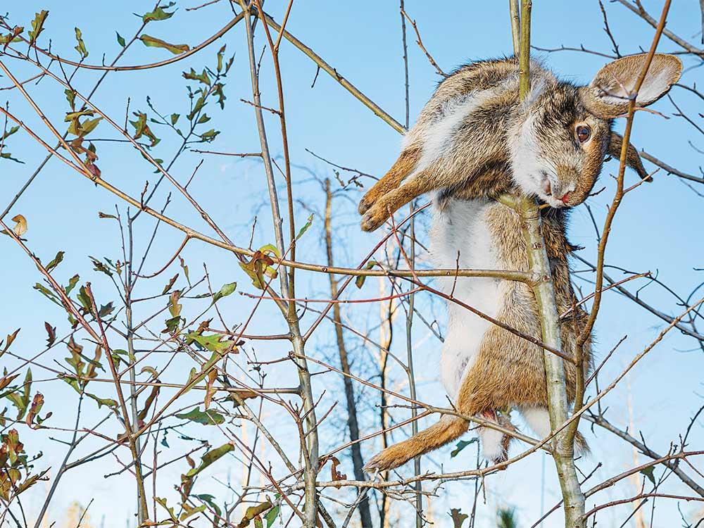 dead rabbit hanging in tree