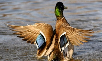 USFWS Survey Finds Total Breeding Duck Numbers Up 8 Percent