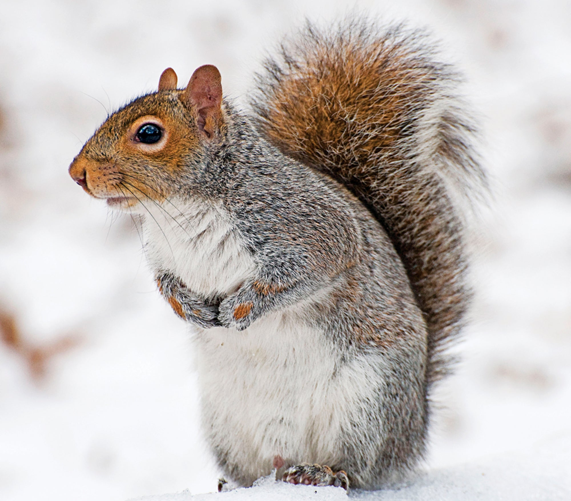winter squirrel hunting