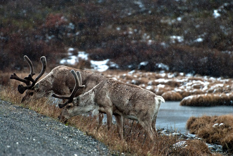 Alaskan Caribou Hunt: The Complete Backcountry Packing Guide