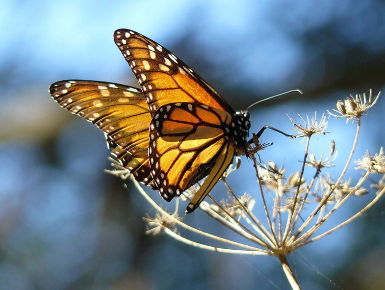 Monarch Butterflies May Be Listed as Endangered Species