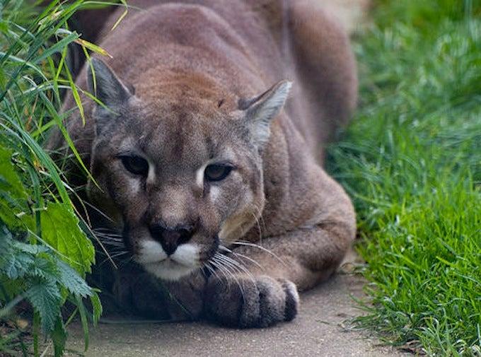 California Allocates $1 Million to Mountain Lion Crossing Project