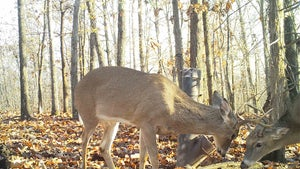 South Rut Report: Get Ready for the 'Fawn Rut'