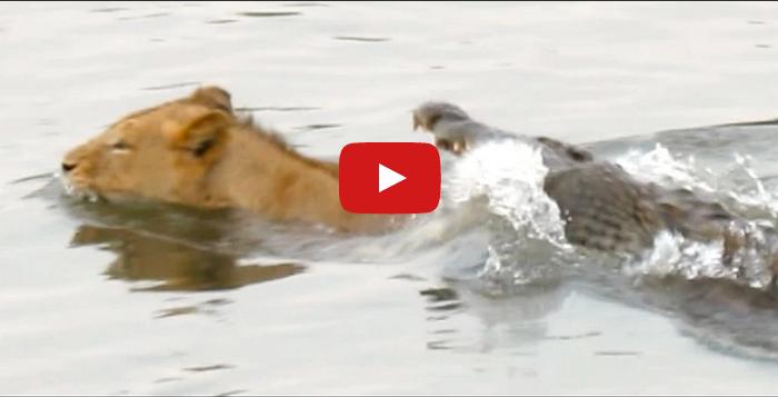 Video: Lions vs. Crocodiles