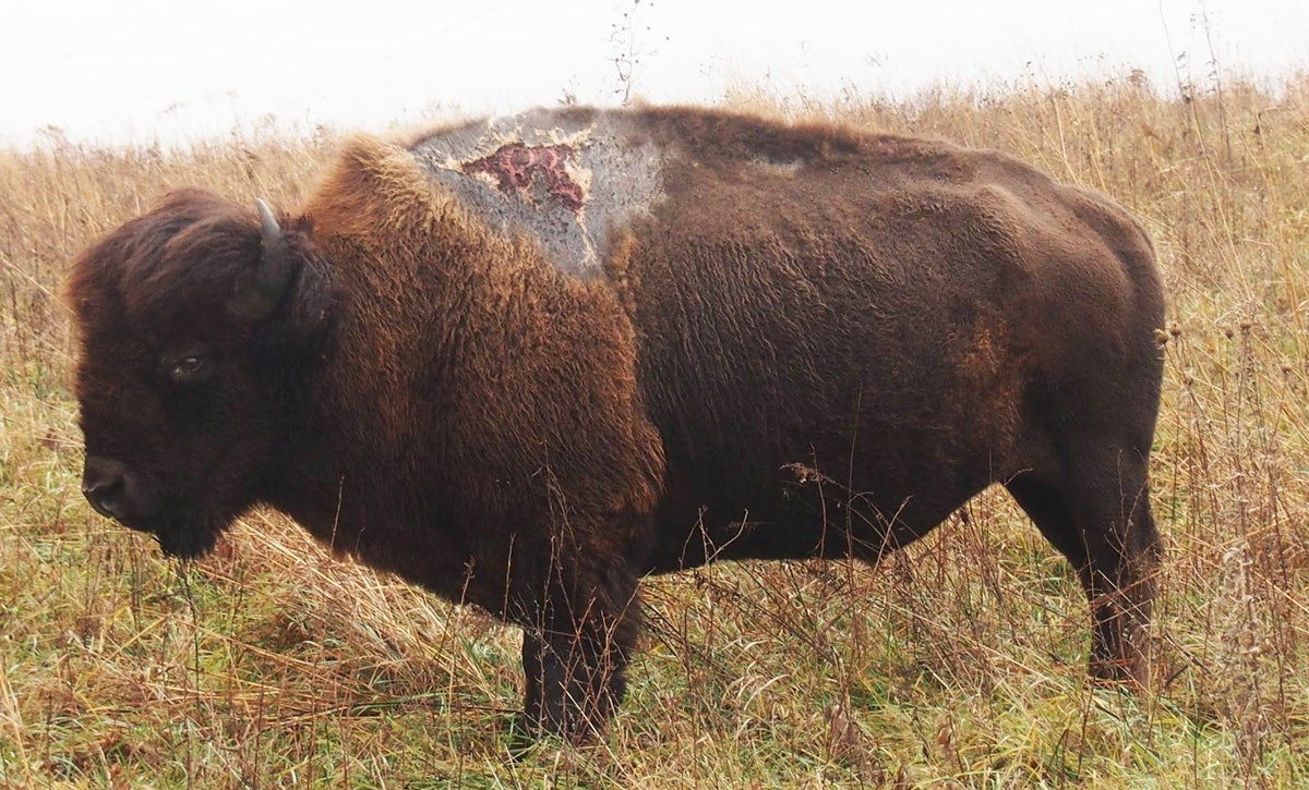 Iowa Bison Attracts Fanfare After Surviving Lightning Strike