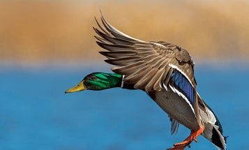 Close the Distance: How to Call Ducks and Geese in Closer
