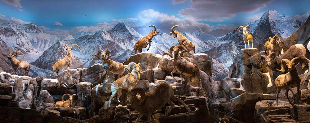 sheep mountain wonders of wildlife