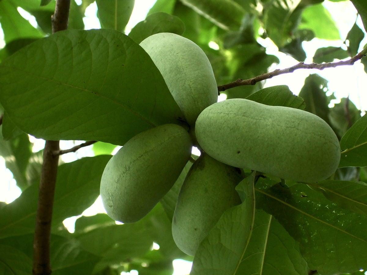 pawpaw, seasonal fruit