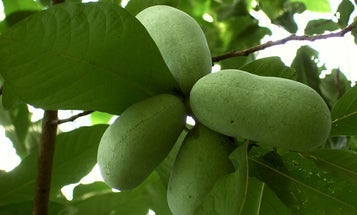 Yes, Dammit, It's Pawpaw Time Again